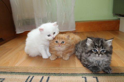 Adorable Persian Kitten