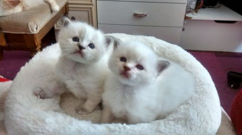 Three Birman Kitten Available