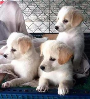 صور pomeranian mix short leg jack russell puppies for sale.. 1