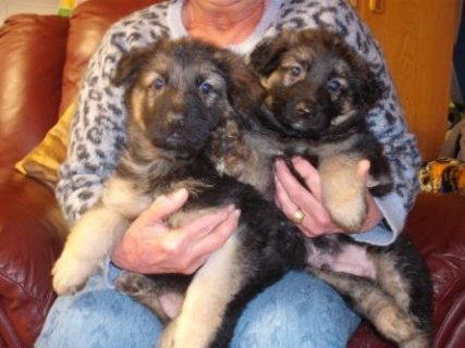 Black/tan German sheperd Puppies Available