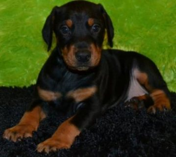 Gorgeous puppies for sale and they have the most gorgeous pierci