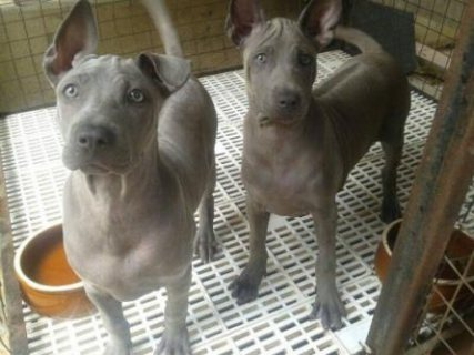 Rare velvet blue Thai ridgeback  for sale .   - 4 month old