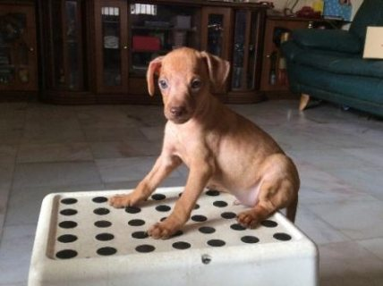 2 months mini pinscher for sale -1m n 1f available