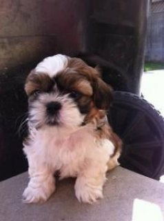 Male and female Shih Tzu puppies. They are 11 weeks old, vet che