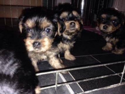 Hi we have 5 pedigree Yorkshire terrier pups for sale 2 bitche