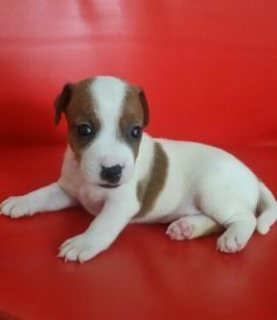 * 7 weeks old – male and female available * Very tiny sized with