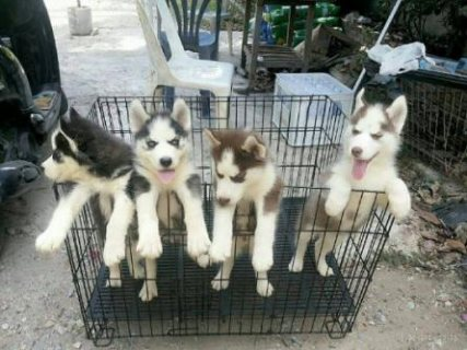 Siberian husky  Male / Female available Copper red / Black n whi