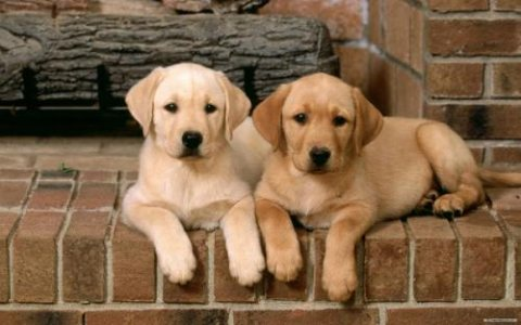 Male and female Cute Labrador Retriever Puppies Available now