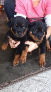 صور Male and Female puppies available. almost 7 weeks with dewormed, 1