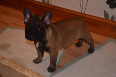 Adorable little train French Bulldog puppies available
