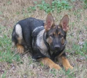 We have 4 months German shepherd puppies female and male with MK