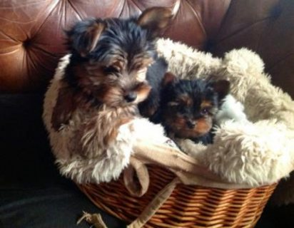 full bred yorkshire terriers three girls and one boy left they