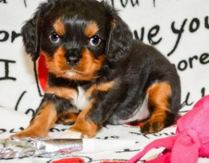Gorgeous carvalia king charlce Puppies  We are delighted to anno