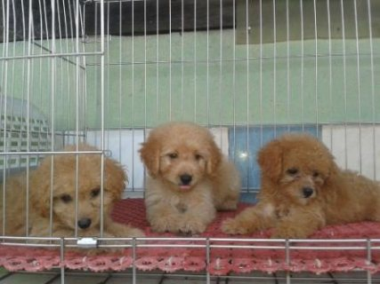 cute & healthy miniature poodle for sale