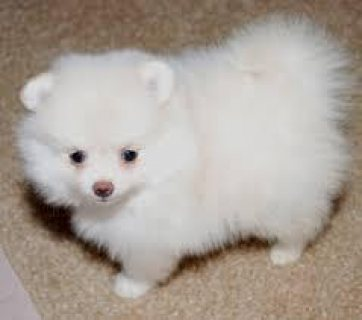 Energetic lovely pomeranian puppies available now.