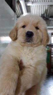 Golden retrieve puppy for sell Male / Female available 1st vacci
