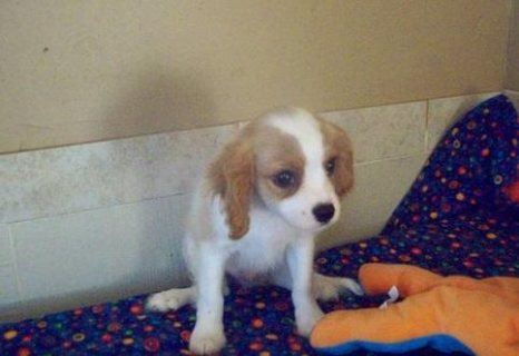 Cavalier King Charles Spaniel Puppies For Sale. They are all v