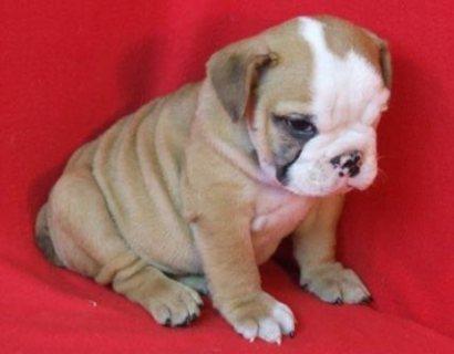 great English bulldog puppies looking for good homes