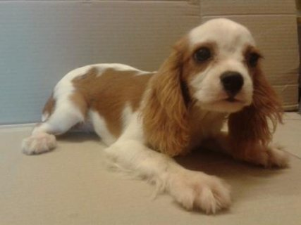 As Camp lineage cavalier king charles spaniel puppy