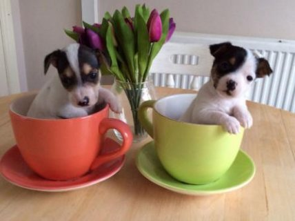 Outstanding Miniature Jack Russell Babies