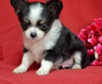 ADORABLE MALE AND FEMALE CHIHUAHUA PUPPIES