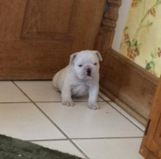 Kc registered British English Bulldog puppies for sale