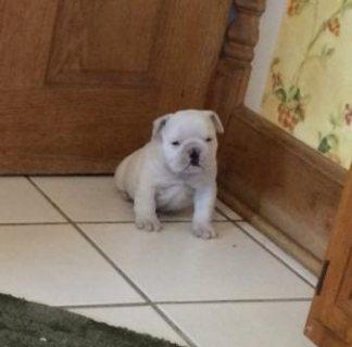Kc registered British English Bulldog puppies for sale