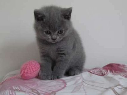 Cutest British Short Hair Kittens Available For Rehoming1