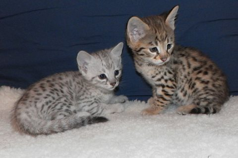 Cute Savannah male and female kittens for Rehoming11