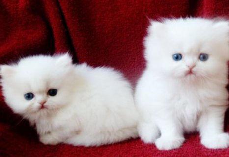 White Color Male and Female Persian Kittens For Rehoming11