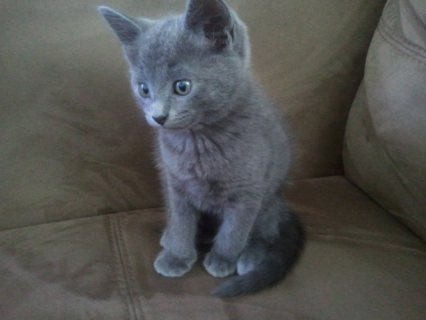 Hand Raised Russian Blue Kitten for Caring Home22