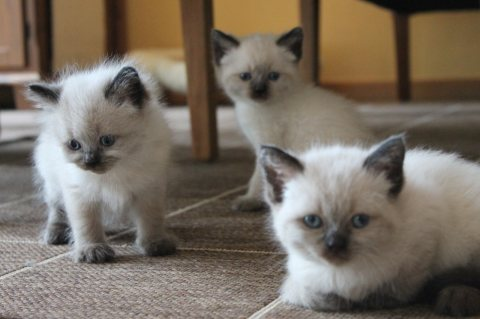 Siamese Kittens for sale Six beautiful kittens For Rehomingd1