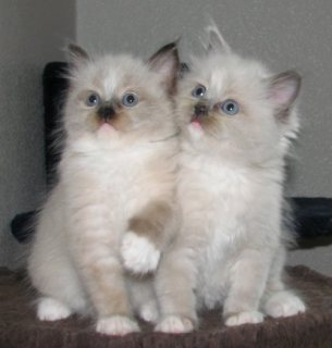 صور Cute Male And Female Ragdoll Kittens For New Home22 1