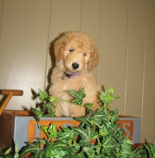 Poodle Puppies For Rehoming333