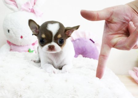 Teacup Chihuahua Puppies Available 55