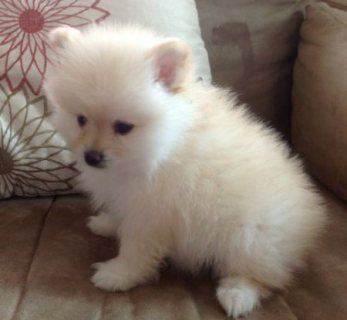 Cute Pomeranian Puppies For New Homes445