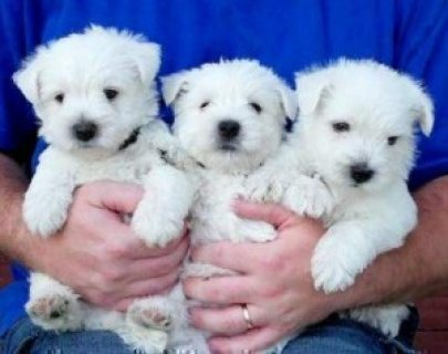 Cute West Highland Terrier Puppies For New Homes22