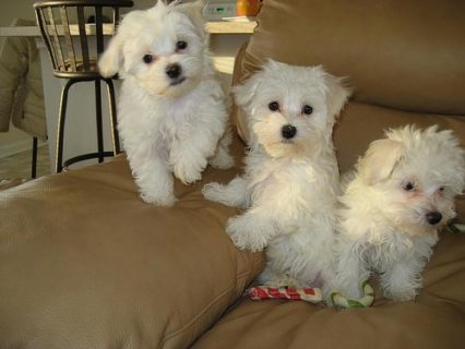 Male  And Female Maltese Puppies Ready To Go Home441