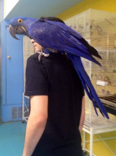 Pair Of Hyacinth Macaw Parrots Looking For A New Home44