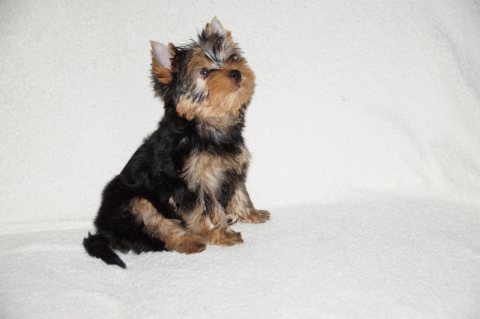صور Healthy Yorkie Puppy for Adoption 1