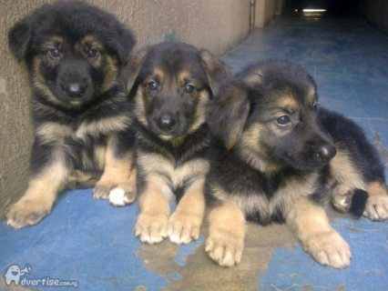 German Shepherd puppies Ready For Sale