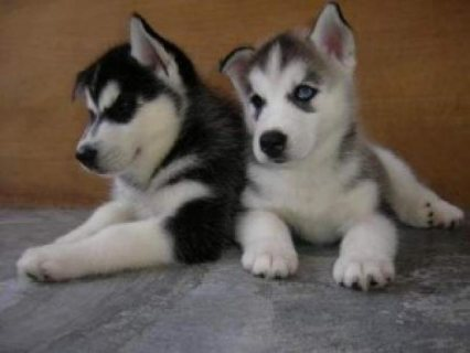 Siberian Husky Puppies for Sale/.//.