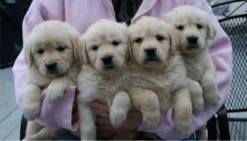 صور Males and females Golden Retriever puppies for sale.... 1