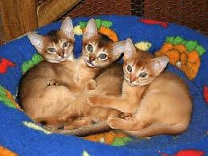 صور Male and female Abyssinian Kittens For Sale ../././/. 1