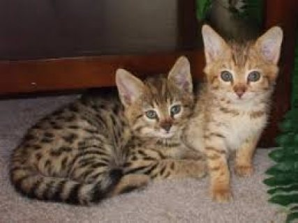 Sweet male and female Savannah kitten ready for sale.