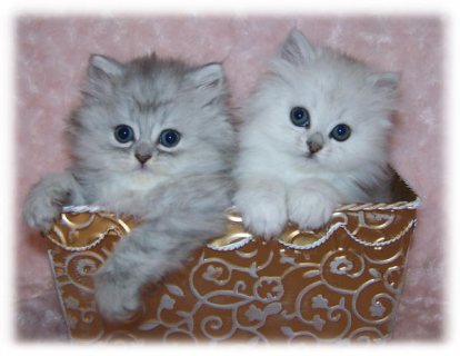 صور Gorgeous Teacup Pure White Persian kitten for sale  1