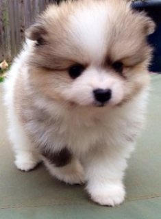 Male and Female Pomeranian Puppies for sale ../../