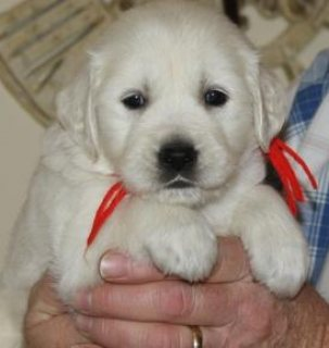 صور Sweet Female Golden Retriever Puppies For sale 1