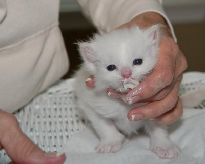 صور MILK PURRE WHITE RAGDOLL KITTEN FOR ADOPTION 1