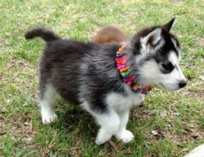 male and female siberain husky puppies ready to go